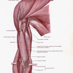 Dissection of Muscles